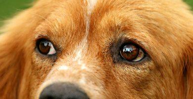 Estrabismo perro