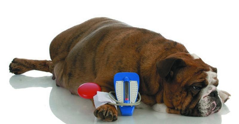 hipertension en perros
