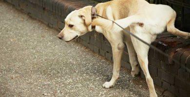 perro orinando