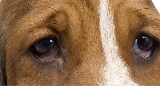 tercer parpado perro