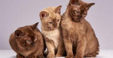 gatos que lloran