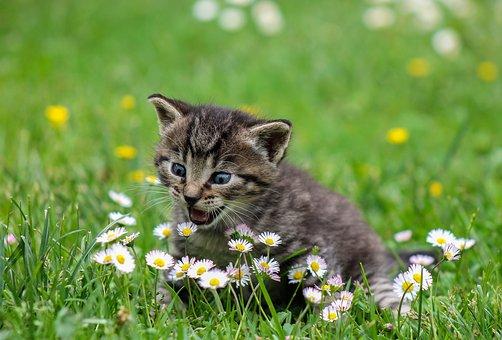 gatos que maullan