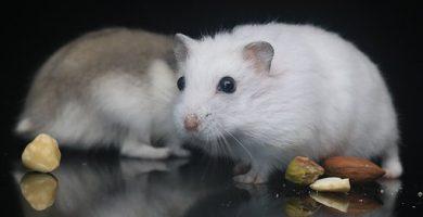 hamsters que comen