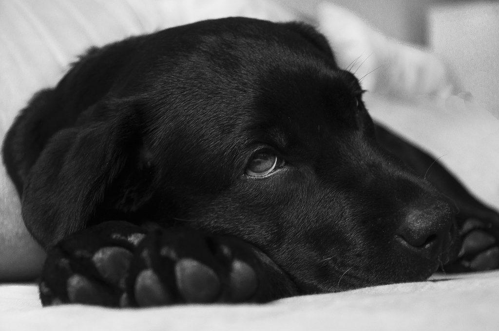 cirugia a perro